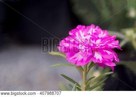 Close Up Of Pink Portulaca Oleracea On Garden Background.
