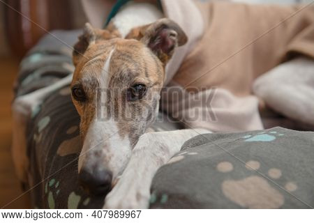 Close Up Horizontal Portrait Showing The Face Of A Brindle And White Adopted Pet Greyhound. Wearing