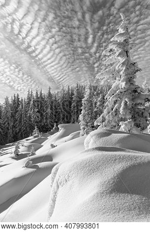 Grayscale. Morning Winter Calm Mountain Landscape With Beautiful Fir Trees  On Slope (carpathian Mou