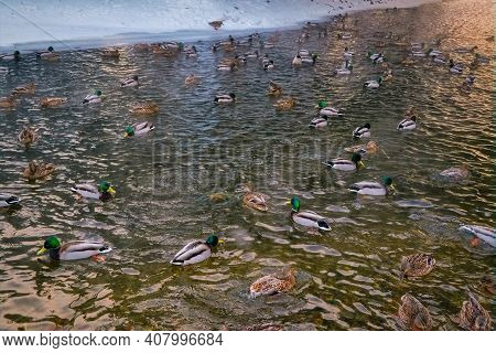 A Flock Of Wild Ducks On The Lake. Many Wild Ducks Swim In The Winter Lake. A Flock Of Ducks In The