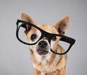 smart chihuahua wearing glasses poster