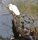 Snowy Egret and Mallard Duck on stump at edge of pond in Florida. poster