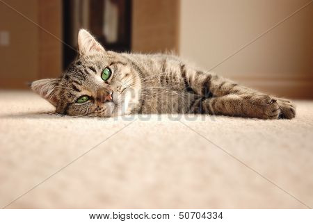 Tabby Kitten Relaxing On Carpet