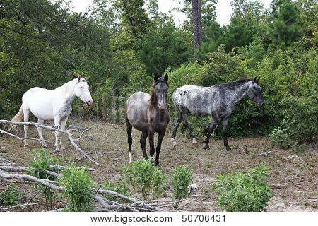 Little Cheif Pushmataha and herd