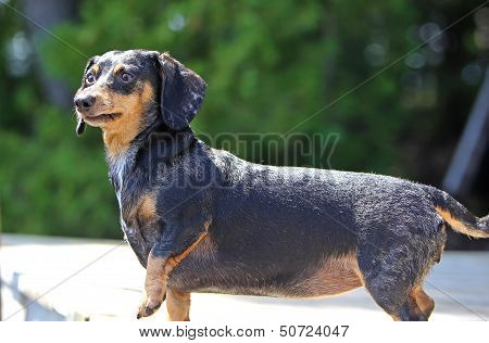Small short hair dachshund pausing with forepaw raised on wood pier with out of focus foliage in the background poster