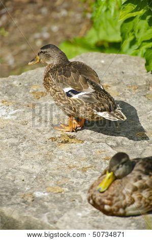 Mallard Ducks