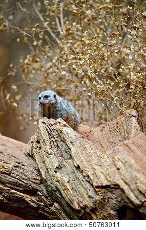 Meerkat On The Tree