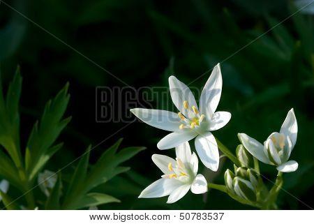 Ornithogalum Umbellatum (Star-of-bethlehem, Grass Lily, Nap-at-noon, Eleven-o'clock Lady)