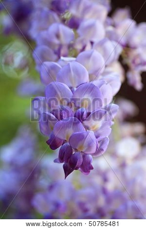Wisteria In The Spring Garden