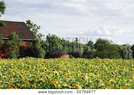 Barn And Sunflowers