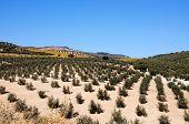 Olive groves Montefrio Granada Province Andalucia Spain. poster