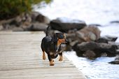 Small short hair dachshund playing on wooden pier in Moosehead Lake, Maine with trees, sky & shore in background poster