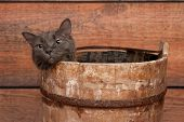 Studio shot of an unhappy gray Nebelung cat in an antique wooden well bucket. The Nebelung is a rare breed similar to a Russian Blue except with medium length silky hair. Shot in the studio on a rustic wood background. poster