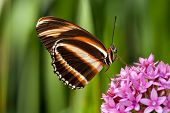 Banded Orange butterfly (Dryadula phaetusa) feeding on pink star flowers. Natural green background. poster