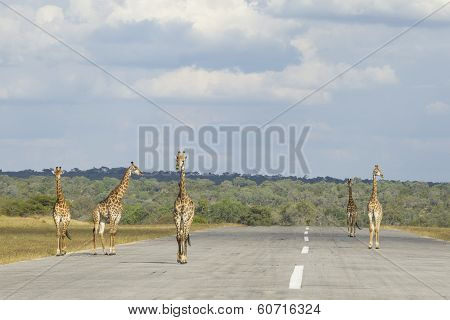 Southern Giraffe (giraffa Camelopardalis) Five Males Walking Down Airstrip South Africa