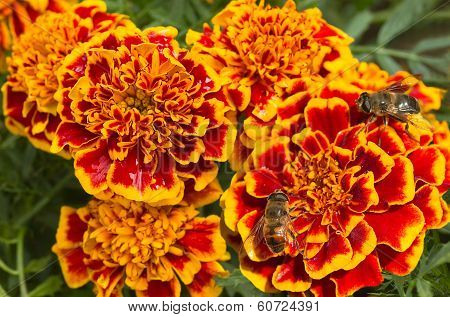 Orange And Red French Marigold Or Tagetes Patula