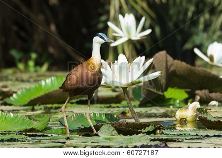 African Jacana Standing Beside Flowering Lilies