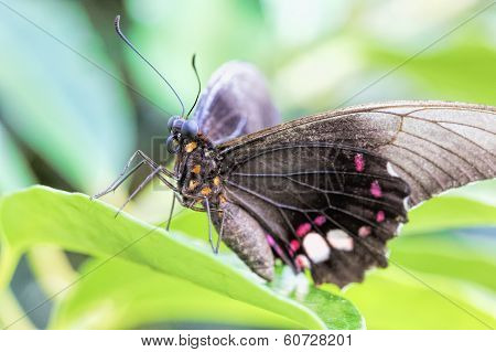 Tropical butterfly (Parides Iphidamas) on a leaf