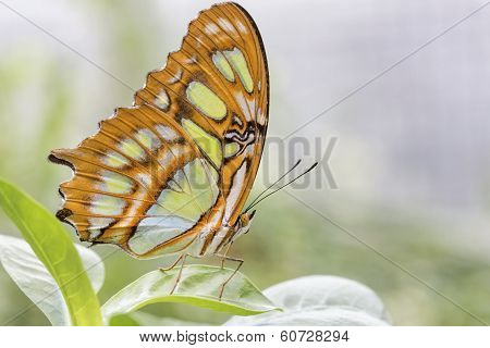 Bamboo Page or Dido Longwing butterfly on a leaf