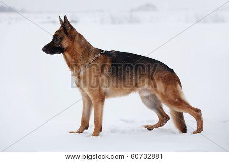 Shepherd Warily Looking Ahead Standing On Snow