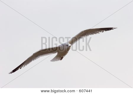 Seagull In Flight 5