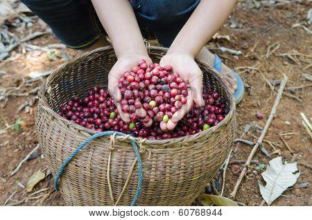 fresh robusta coffee berries in hands