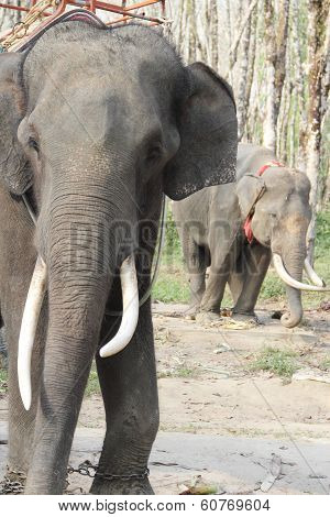 Elephants On Rubber Tree Plantation