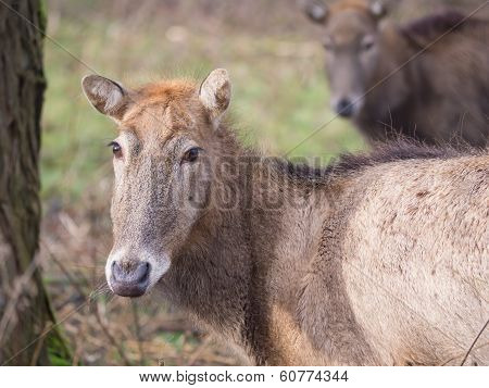 Close-up of a Pere David's Deer