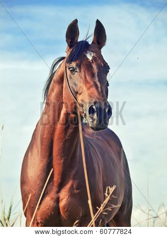 portrait of wonderful bay sportive stallion in the meadow. poster