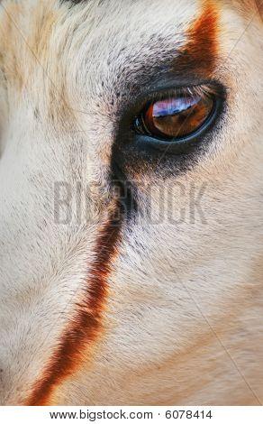 Ojos de gacela