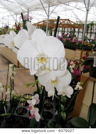 Orchid in greenhouse