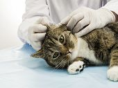 A veterinarian in the treatment of ear mites in a cat. poster