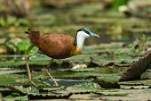 An African Jacana (Actophilornis africanus) standing on lily pads poster