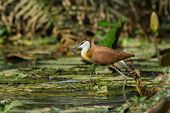 A young African Jacana (Actophilornis africanus) in full stride poster