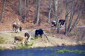 Rural scene. Herd of dairy cows farm animals on the river bank or lake shore. Countryside. poster