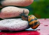 close-up of funny Snail crossing a rock barrier poster