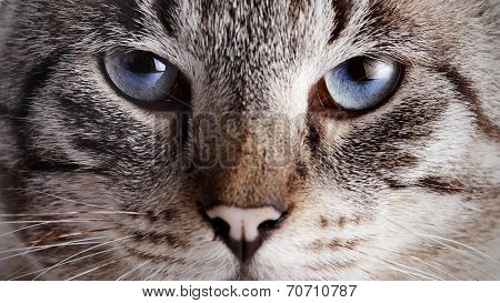 Muzzle Of A Blue-eyed Striped Cat.