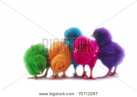 Colorful Of Cute Chicks