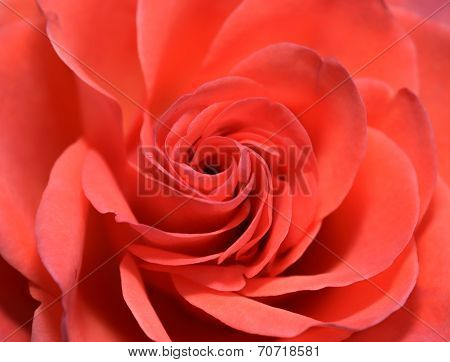 Closeup Of Red Rose Flower