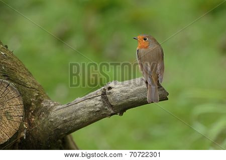 A Robin Perched on a Branch