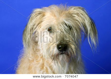 Fluffy Gos datura dog on blue background competitors. Shot in studio. poster