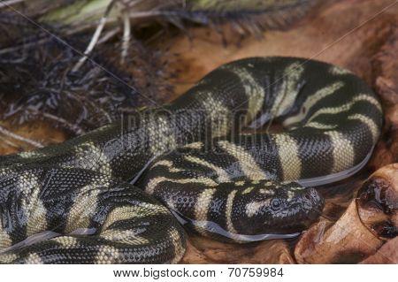 File snake / Achrochordus granulatus