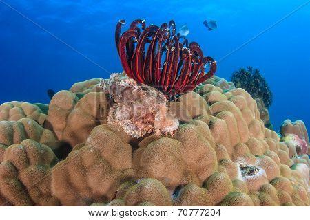 Scorpion Fish On A Hard Coral