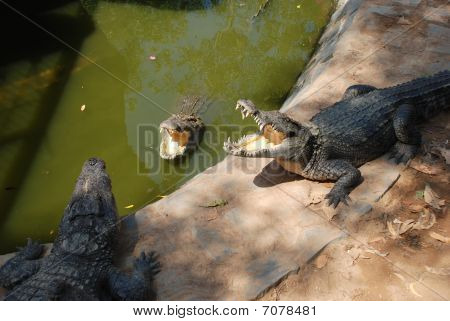 Portrait of big crocodile at the farm in Vietnam poster