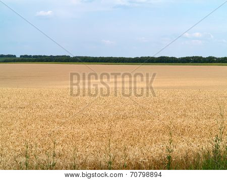 Endles Yellow Beautifull Wheatfield In Summer