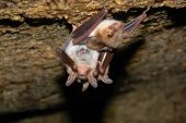 Bat Holding On A Wall. picture made in the deep cave poster