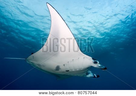 Manta Ray Investigating Divers