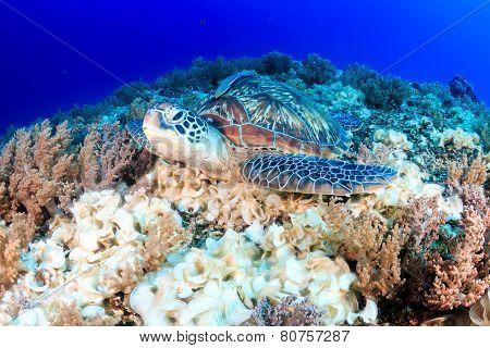 Sea turtle on a reef