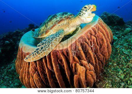 Yawning Turtle