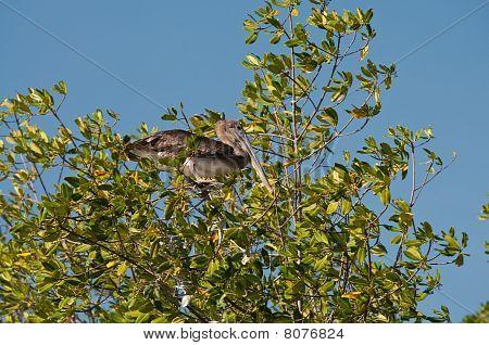 Pelican On The Tree